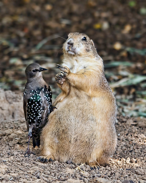 This prairie dog was actually feeding the starling. When I first walked up to the exhibit, there were 2 starlings getting handouts from this most generous robust prairie doggie. As happens a lot, by the time I got setup and ready to shot, one of the starlings had split. If you look closely, you can see the starling is actually leaning up against the prairie dog with one foot propped up on him. Amazing. 8.9.12