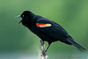 Red-winged Blackbird Defending with Attitude.