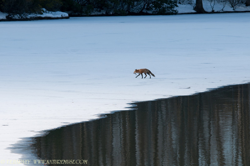 "This fox is headed back to the woods with his breakfast catch.<br /> <br /> For more fox photos, go the the gallery... <a href=""http://www.naturemuse.com/Birds/Eagles-On-Ice-Clifton"">http://www.naturemuse.com/Birds/Eagles-On-Ice-Clifton</a> , last gallery page."