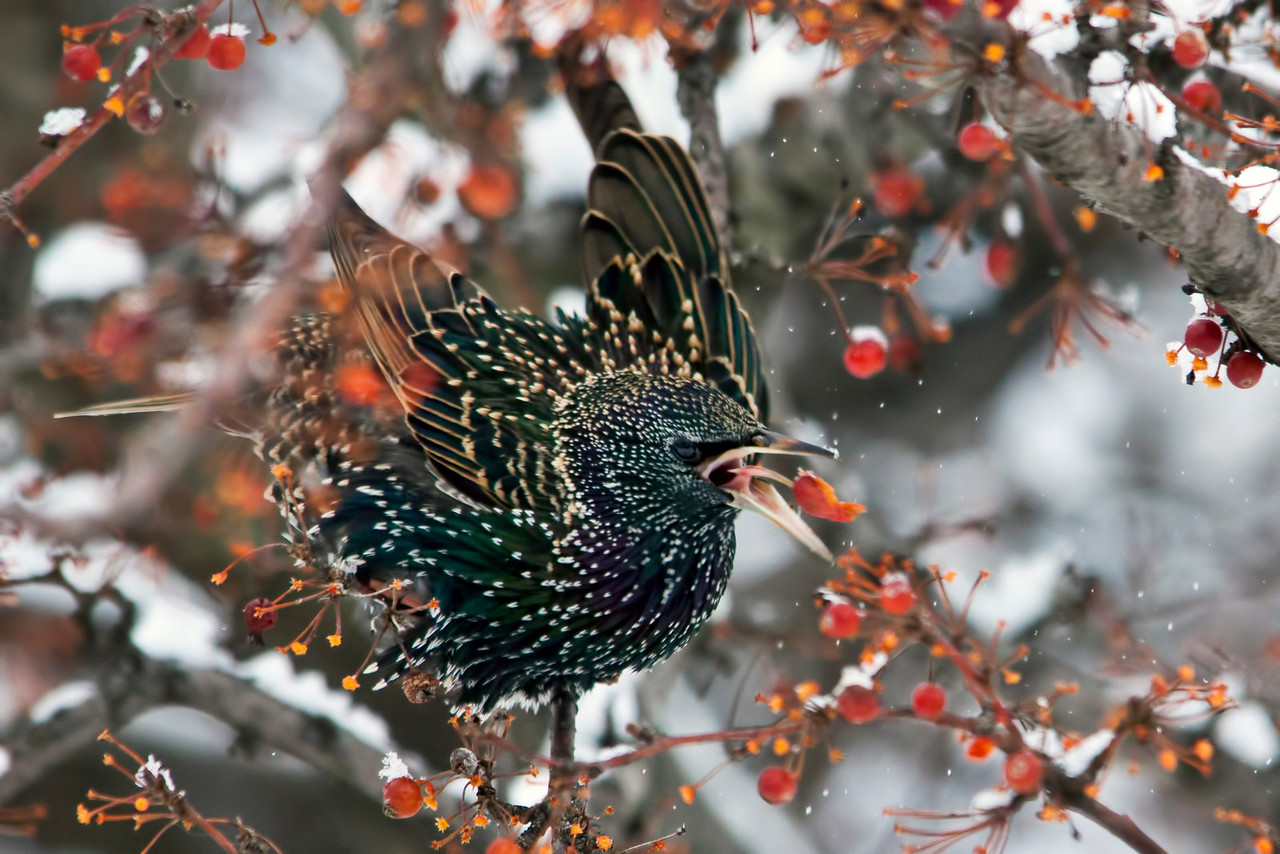 I ran across a flock of these starlings at Our Lady of the Snows in Belleville, Illinois. They were having quite a feast on these berries. 12.29.12