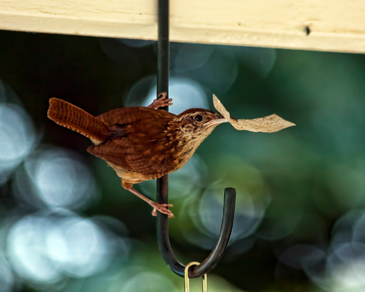 This little Carolina wren and its mate decided to build a nest in a spider plant on the back porch. This looks like a piece of tape of some sort. One of them was better at collecting materials for the nest than the other. I am keeping an eye and ear out for baby wrens, but none yet. 9.7.11