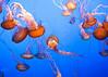 Jellies from Monterey Bay Aquarium<br /> September 24, 2010