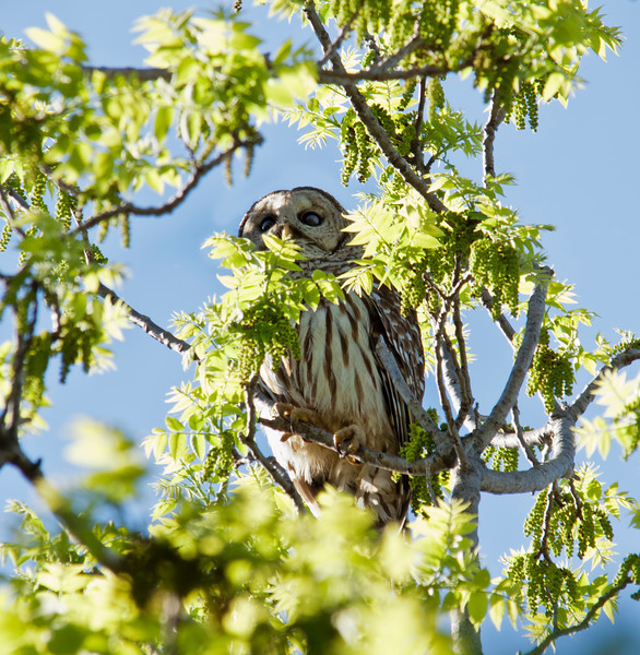 You can imagine how excited I was when this barred owl flew into a tree right next to the tree I was standing under. Then, it hopped over to another limb which is when I snapped this shot. It is not technically the best photograph, but from where I was standing it was the best I could do. I was kind of disappointed with it initially, but it has been growing on me. What do you think? Feel free to say exactly what you think. 6.4.12