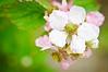 July 9, 2012<br /> Blackberry Flower<br /> Swanton Berry Farm, Santa Cruz, California