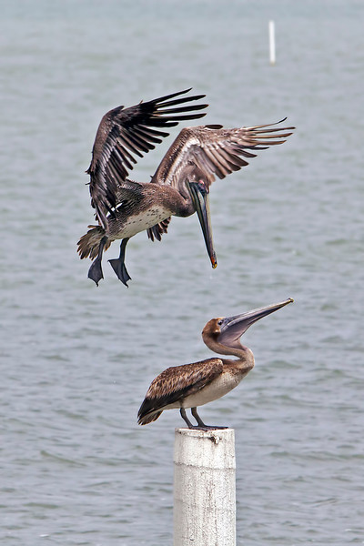 I have a whole sequence of shots as this brown pelican is approaching the brown pelican on the post. The flying pelican succeeded in his quest to sit on the post without much of an objection from the other. Taken along Shoreline Drive in Corpus Christi, Texas in April 2012. 6.26.12