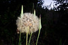 June 18, 2011<br /> Went for a hike to take some painting with light shots and was pleasantly surprised by all the wildflowers.  Also found this huge dandelion puff.  Oops, correction it is the seedhead of salsify.  Thanks, fotoeffects, for that info.