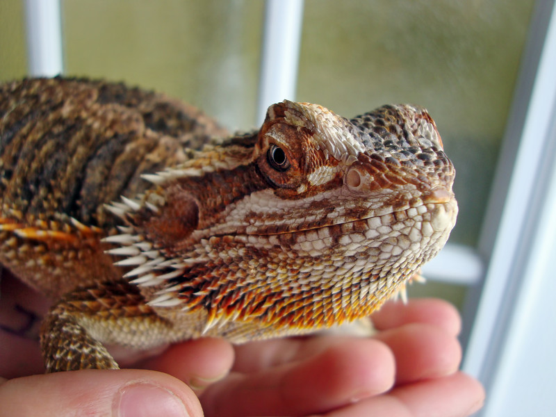 "Looking at this bearded dragon I have come to the conclusion that people will make pets out of almost anything. It just doesn't seem to be the cozy up on the couch kind of animal to me, but like they say ""different strokes for different folks."""