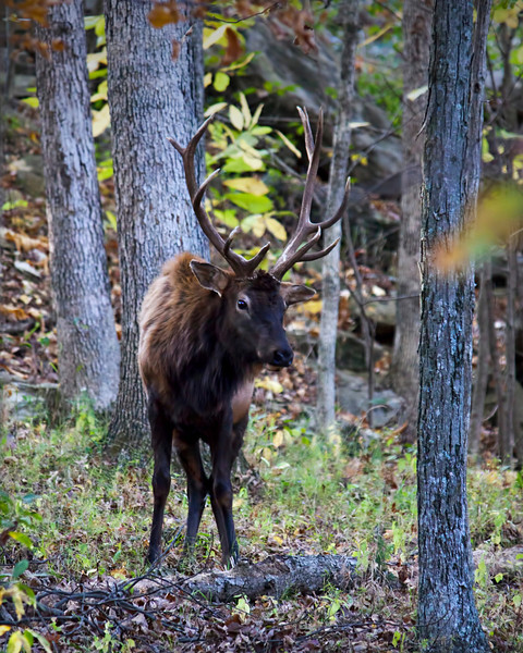 Birds aren't the only thing I run into in the woods. This big elk was grazing along the edge of a small creek and really didn't pay to much attention to me. It was very nice of him to pose for me. 10.18.11