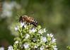 Bee in my backyard.<br /> July 29, 2010