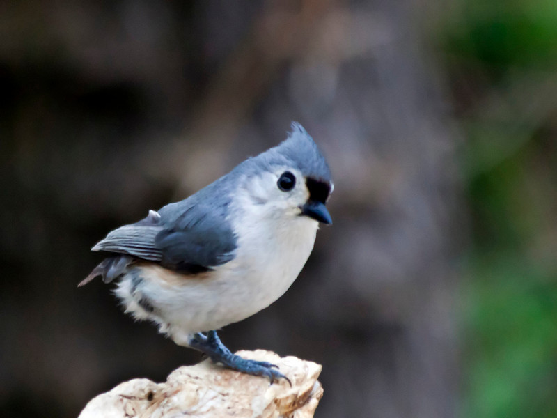 This is my paraplegic titmouse. It hops around quite vigorously and must have quite a will to live because it obviously has barely escaped being eaten by a cat or whatever else eats birds in my backyard. I'm surprised that it was attacked because it is so fast. I've been watching it at the feeders all winter. Despite having no tail feathers, it seems to be flying around okay and has a healthy appetite, so let's hope it makes it. 4.7.11
