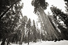 April 19, 2011<br /> Giant Sequoia trees in King's Canyon National Park