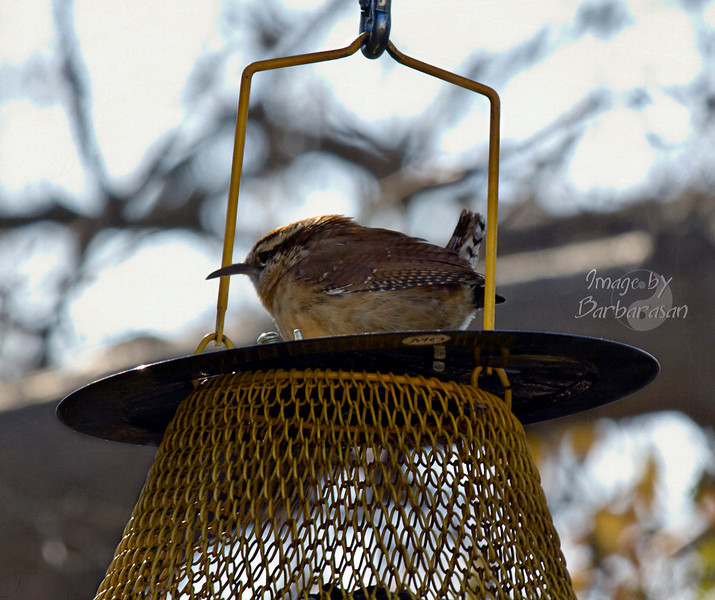 Did a little birding Monday afternoon. This little guy zipped by and landed on the feeder. He is so cute, but have no idea what he is. Didn't know we had such interesting birds here in the MIdwest.