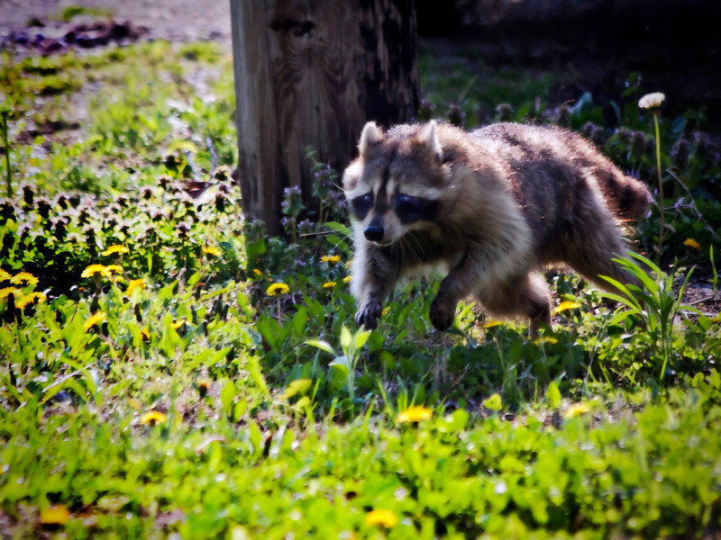 I startled this raccoon this morning while chasing a blue heron. He took off when he saw me. This was the best shot. It's definitely not the best photo I've taken lately, but something different. Thanks for all the kind comments...4.10.11