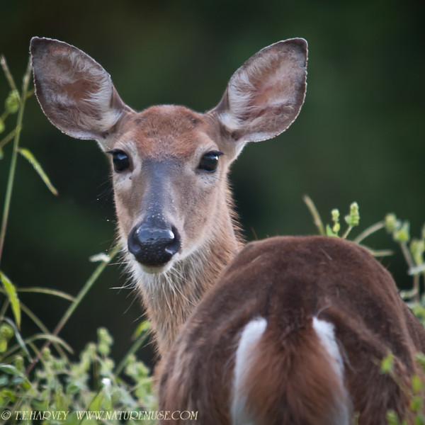 Deer pausing for a portrait.  Was on my way to see raptors near Clifton, Va when this deer posed for a few minutes early in the morning.