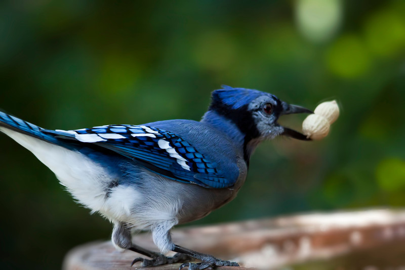 I have a split second to get a shot at this bluejay. He is very skittish. This is the best from today. Sure go through a lot of peanuts to get 1 good shot. Have a great weekend. 10.7.11