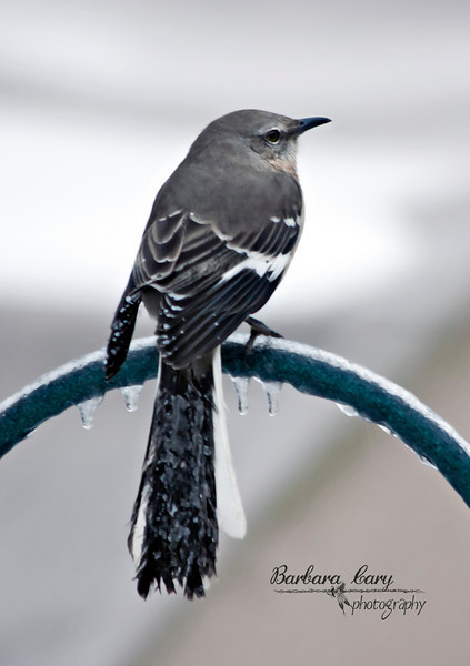 There's nothing worse than ice on your tail feathers. I took this photo the day after the big blizzard went through here. This mockingbird is a regular at my feeders. I hope he made it. Things weren't looking too bright that day.