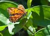 Butterfly in my backyard.<br /> June 29, 2010