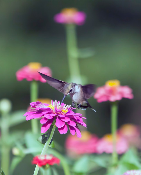 The hummingbirds have arrived at last. This little guy has staked a claim on my zinnia garden. When he is not feeding, he sits and watches for any outsiders and promptly chases them away. Once in awhile a hummingbird sneaks in while he is in hot pursuit of another. 7.14.12