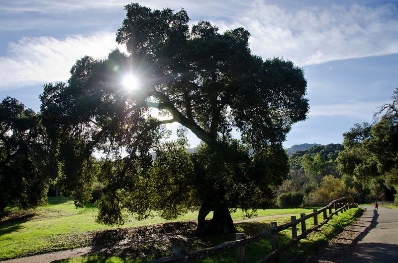 January 6, 2011<br /> Sun shining through an oak tree.