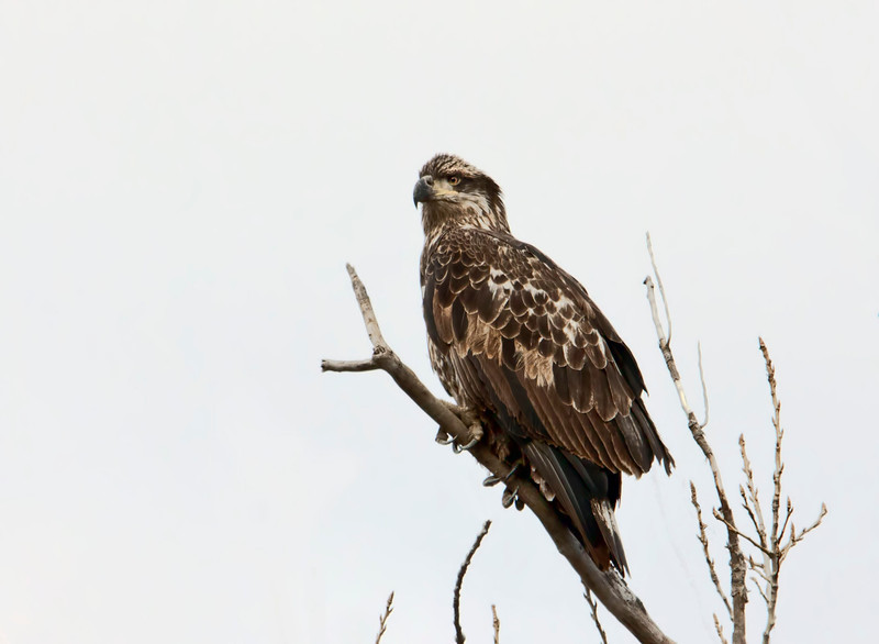 Shot this yesterday along the Mississippi River in Modoc, Illinois. I believe it is a golden eagle, but suppose it could be a juvenile bald eagle, but don't thinks so. I'm certainly no expert on the subject. We saw a total of 10 eagles, all perched up high in the trees along the levee close to the ferry. I'm hoping to capture eagles fishing in the river later this winter when they are here in bigger numbers. Wish me luck! 1.9.12 Have a great week.