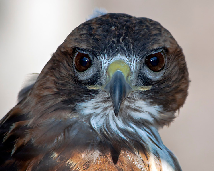 Closeup of a red-tailed hawk. What magnificent creatures they are. 9.8.11