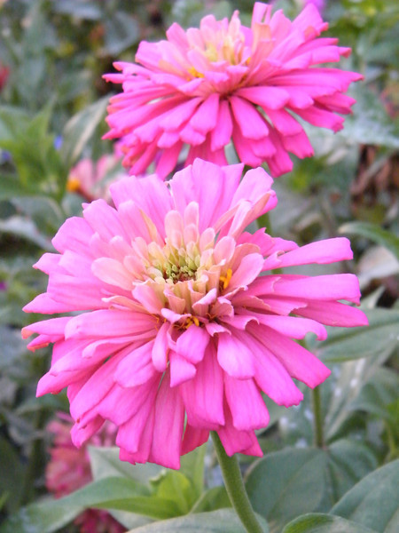 Actually, this is a zinna from my garden last year. I had tons of plants with large blooms on them all summer. I was expecting the same success this year, however, so far the blooms have been about, I say about, the size of a quarter. What's up with that??? I'm going to fertilize them and see if they get any bigger. 6.12.12