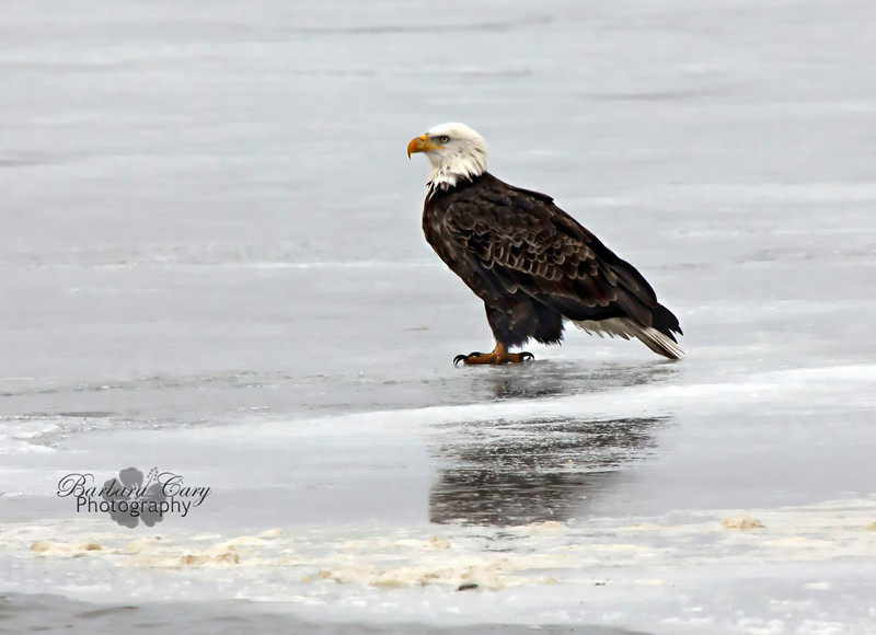 Been doing a LOT of birding lately. Definitely suffering from a bad case of birditis. This eagle was just finishing up a meal at Horseshoe Lake. If you look closer in the foreground you can see the residue/remains of his fish lunch. Thanks for your support of my obsession. Have a great day! 2.17.11