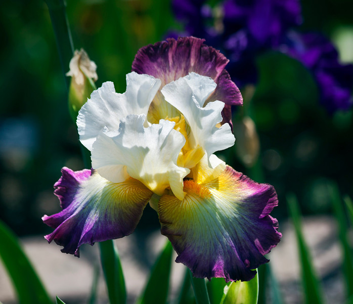 The iris garden was in full bloom at Missouri Botanical Gardens this past weekend. The colors were fantastic. What a beautiful world this can be. 5.27.11 Have a great Memorial Day weekend everyone!!!