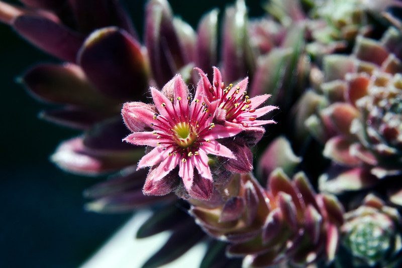 An amazing bloom on a hen and chicks plant. 6.20.12