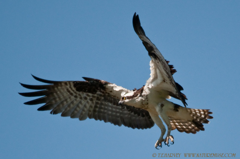 """This Osprey """"put on the brakes"""" as approaching a tree limb for landing."""