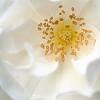 Day 2:  White Carpet Rose<br /> May 21, 2010