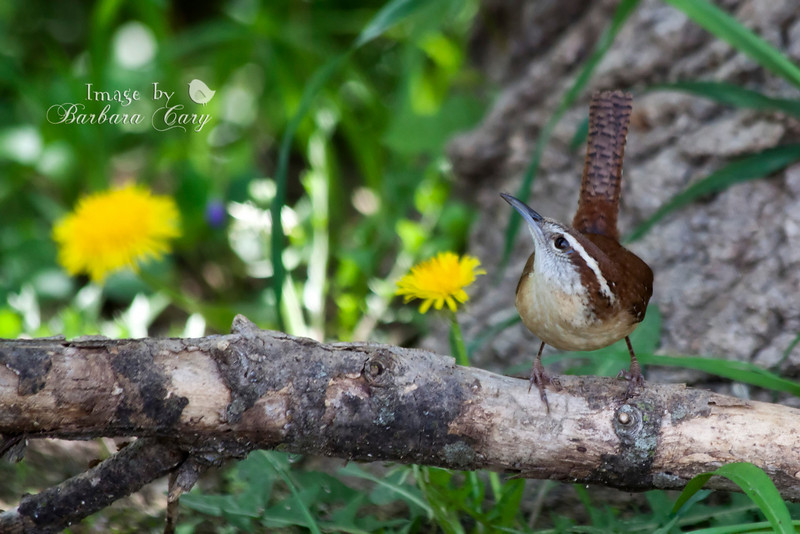 Carolina wrens are my favorite backyard bird. I have a pair of them. Hoping to have some little ones soon. They are so quick and move so fast it is hard for me to get a shot. I suppose I could have cropped this in a bit, but I liked it straight out of the camera. 4.14.11