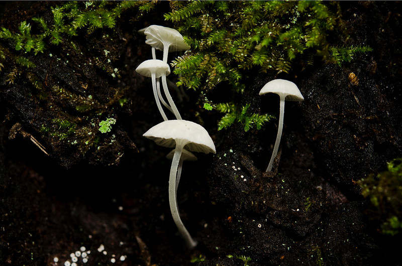December 15, 2010<br /> Tiny forest lamps.  I found these growing on a Redwood tree.