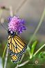 November 26, 2011<br /> Monarch Butterfly.  Natural Bridges State Park, Santa Cruz, California