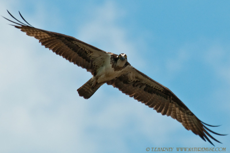 "Osprey at Mason Neck National Wildlife Refuge-Kane's Creek.  Shot from a canoe when the osprey flew over and ""posed."""