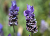 Lavender in my front yard.<br /> August 6, 2010<br /> <br /> Thanks for all the nice comments.  Have a great weekend!