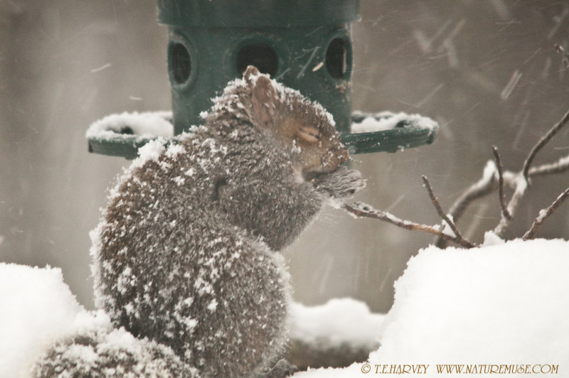 "This little critter seemed so cold with the winds gusting 50 mph during the Winter Blizzard of 2010.  He ate for about 15 minutes before taking cover near the ground in dense evergreens.<br /> <br /> Happy to report, almost 11 months later, the family has increased.  Often the family of 3-4 squirrels ""raid"" the feeder together, 2 young ones along with mom and dad."