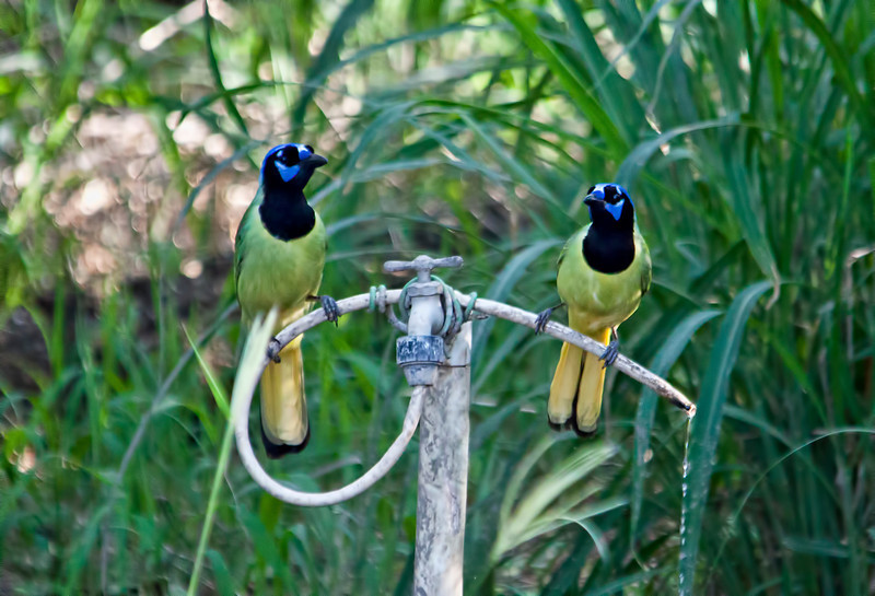 I took this shot of green jays in South Texas. They are sitting on a drip hose. I am so amazed at the coloring of these birds. I saw a lot of them that day.  I wasn't disappointed in the volume of cool birds I saw while I was wandering around Texas.