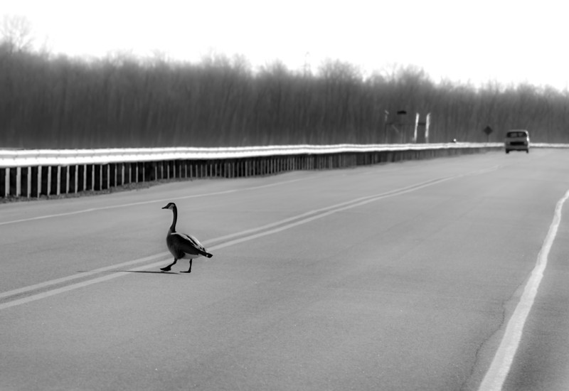 "I set out looking for trumpet swans at Riverlands Migratory Bird Sanctuary in Alton, Illinois. Only spotted 3 swans still on a pond, but as I turned to go back to the road, I saw this Canada goose taking its time crossing the road. It didn't seem a bit disturbed by the vehicle coming toward him. I guess that's why it's called a ""bird sanctuary."" 1.4.11"