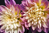 Another Dahlia shot.<br /> October 7, 2010<br /> <br /> Thank you for all the nice comments and the inspiration.