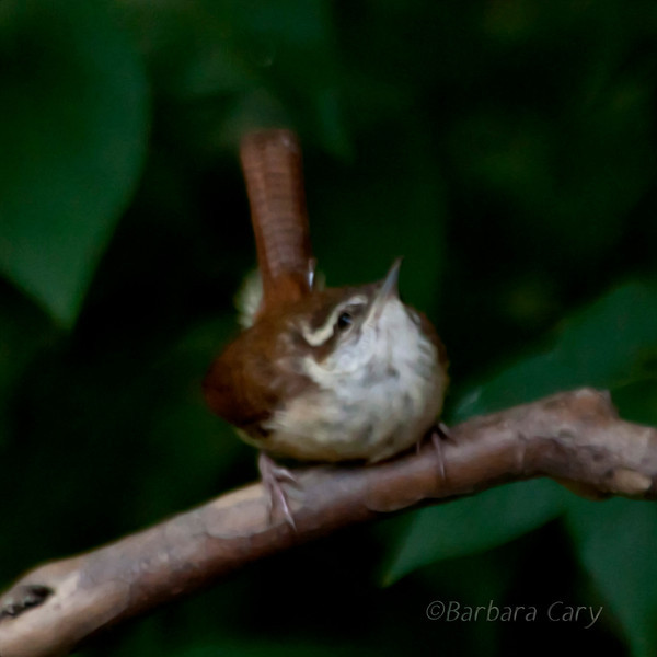 Not perfect focus on this shot, but I so love these little birds, the Carolina wrens. I did a painterly effect in PS and it works for me. 8.9.11