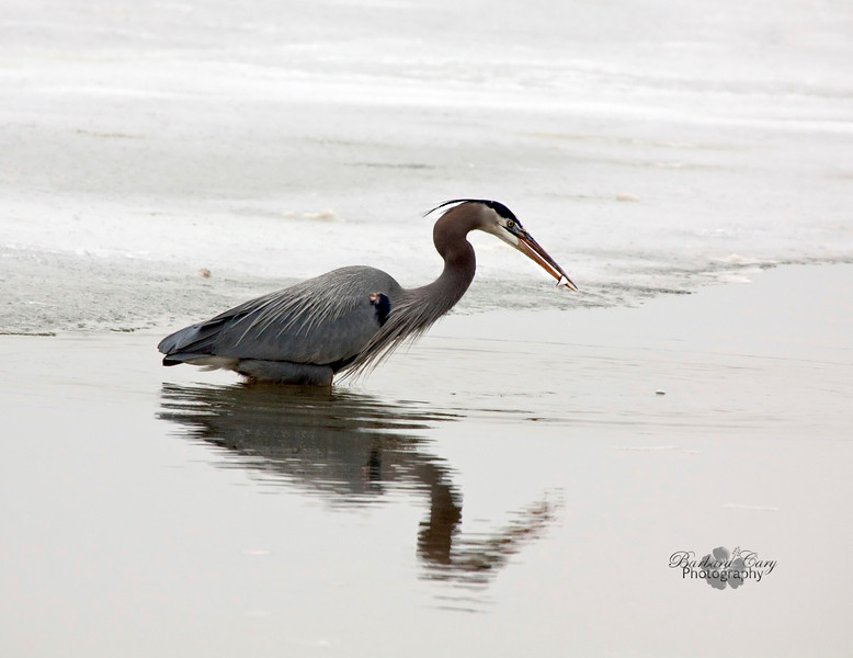 This shot was taken in January '11. This heron was wading in some pretty cold water here. Makes me so glad spring is well on its way. 3.13.11
