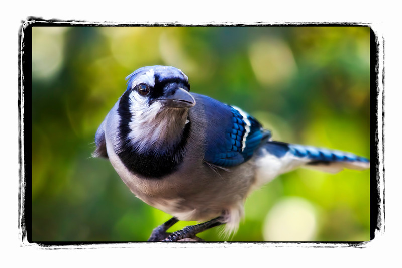 "The expression on this bluejay's face seems to say ""I see you."" They really like their peanuts, but are still quite skittish. Still, I think they know I am there watching them. 10.21.11<br /> <br /> Have a great weekend smugmuggers!!"