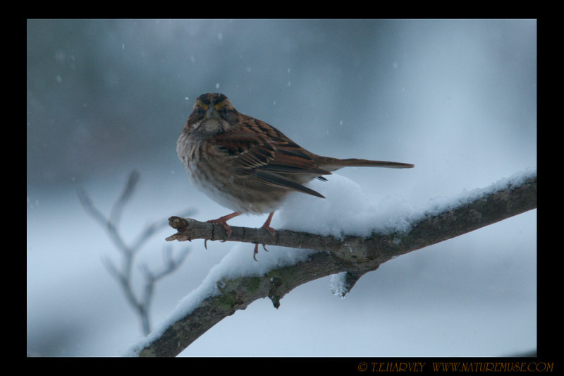 The normally somewhat dull colors stand out on the sparrow during a snow fall.  This little fellow seems to be longing for a bit warmer place.