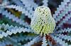 October 26, 2012<br /> Showy Banksia from Australia<br /> Golden Gate Botanical Garden, California