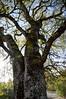December 6, 2010<br /> Oak tree