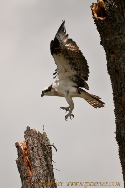 Osprey at Mason Neck Wildlife Refuge