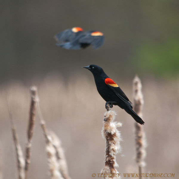 Red-winged Blackbird and Alien Craft?