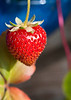 The sweetest strawberry.<br /> August 22, 2010