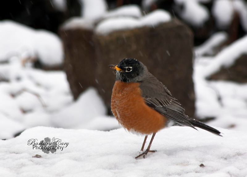 Boy, was I surprised this morning when I got up and there were huge snowflakes flying around. They were the big juicy ones, too. It's March, so robins are everywhere. I followed this one around for quite awhile. Note his muddy beak. It was plucking up worms right and left. It is late afternoon now and the snow is pretty much gone, but the robin is still busy in the backyard. I've had enough of the cold damp air outside and it's Miller time... 3.14.11